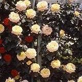 バラ苗 つるピース 国産大苗6号スリット鉢 つるバラ(CL) 一季咲き大輪 黄色系