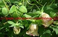 フラワーズガーデンフラワー種子薬草Codonopsis Pilosula種子種子充填肺、免疫強化、20種子/バッグ