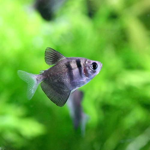 (熱帯魚) ブラック・テトラ(6匹) 本州・四国限定[生体]