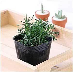 (観葉植物)ハーブ苗 サントリナ グリーン 3号(1ポット) 家庭菜園