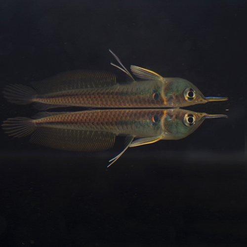 ワイルド シルバーアロワナ Sサイズ(5-6cm)(ベビー)<1匹>[生体]