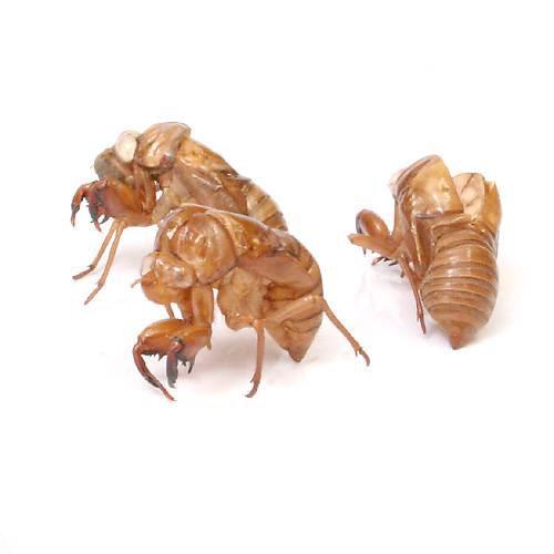 (昆虫) セミの抜け殻(5個) 本州・四国限定[生体]