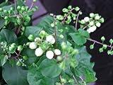 花苗 多年草 ジュズサンゴ 白色実品種 3,5号ラベル付きロングポット苗