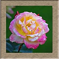 種子 - 珍しい色のバラの17種類のローズ、あなたは100花のバルコニー鉢植えのバラシリーズをお見逃しできません:11