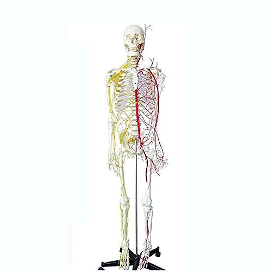 飛行場チェリー雨全身神経血管を備えた人間の骨格モデル、等身大の骨格システム170Cm医療、ブラケットとダストカバーを送信
