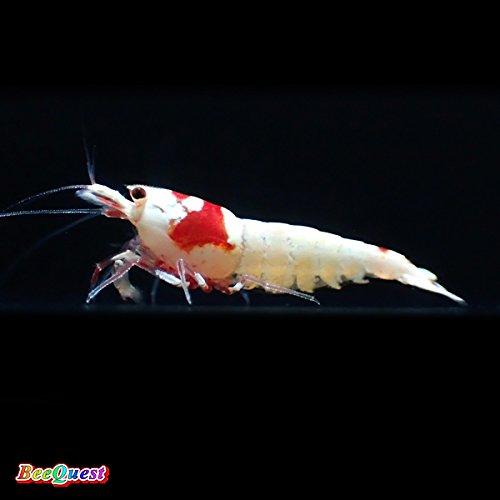 レッドビーシュリンプ モスラ 鮮やかSグレード 3匹(飼料3品付き)[生体]