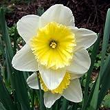 水仙の球根(水仙の種子ではない)、水草の盆栽の種子、二重花弁、ピンクの水仙、花の種、大きな水仙の球、スカイブルー