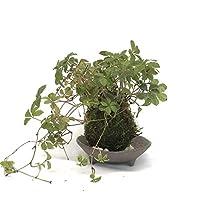5枚に分かれた葉がスタイリッシュ【シュガーバインの苔玉・三つ足灰器セット】 (敷石の色(白石))