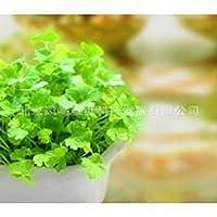 日本リーフレットコリアンダー盆栽50bonsai小さな家族の有機野菜の庭の盆栽