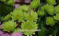 スカイ:100個のシャスタUMクレイジー種子種子