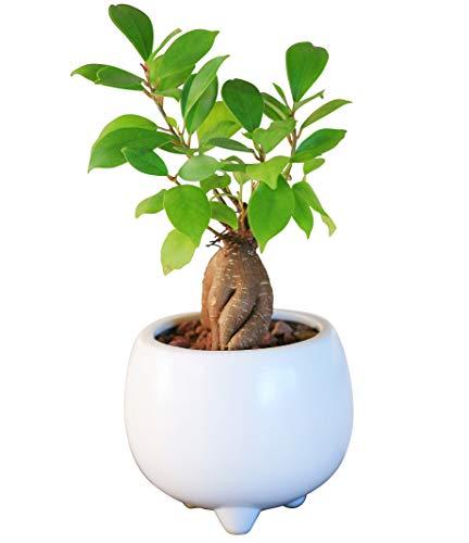 ガジュマル陶器鉢植え(ホワイト)