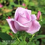 バラ苗 ブルームーン 国産大苗6号スリット鉢 ハイブリッドティー (HT) 四季咲き大輪 紫系