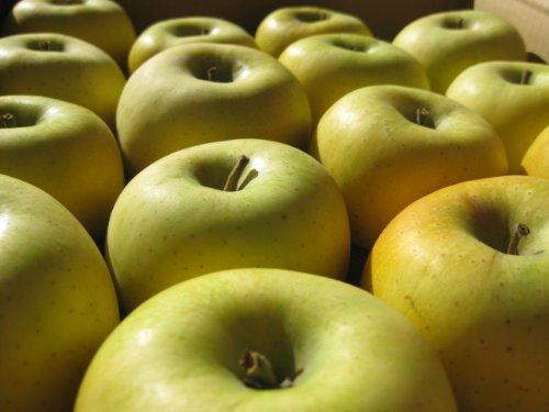 長野県産 生産農家直送 訳ありりんご 「 シナノゴールド」 ご家庭向き食べきりサイズ 18~25玉 約5kg入り/箱