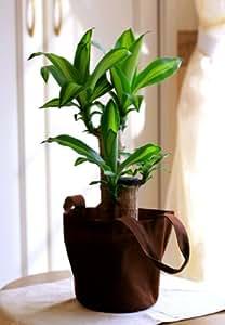 幸福の木 ドラセナ マッサン エコバック 観葉植物 インテリア グリーン