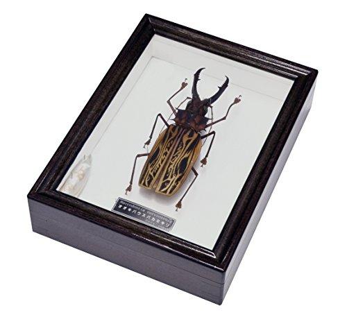 世界で最も大きい顎を持つカミキリムシ 名和昆虫博物館 企画・製作 オオキバウスバカミキリの標本