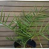 カナリーヤシ (フェニックス) 7寸鉢植え
