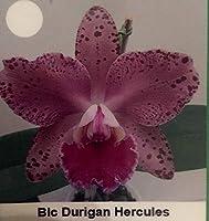 有機種子だけでなく、植物:オーキッドBLC。 Duriganヘラクレス/SKU 054 - フェリーでSEED RE