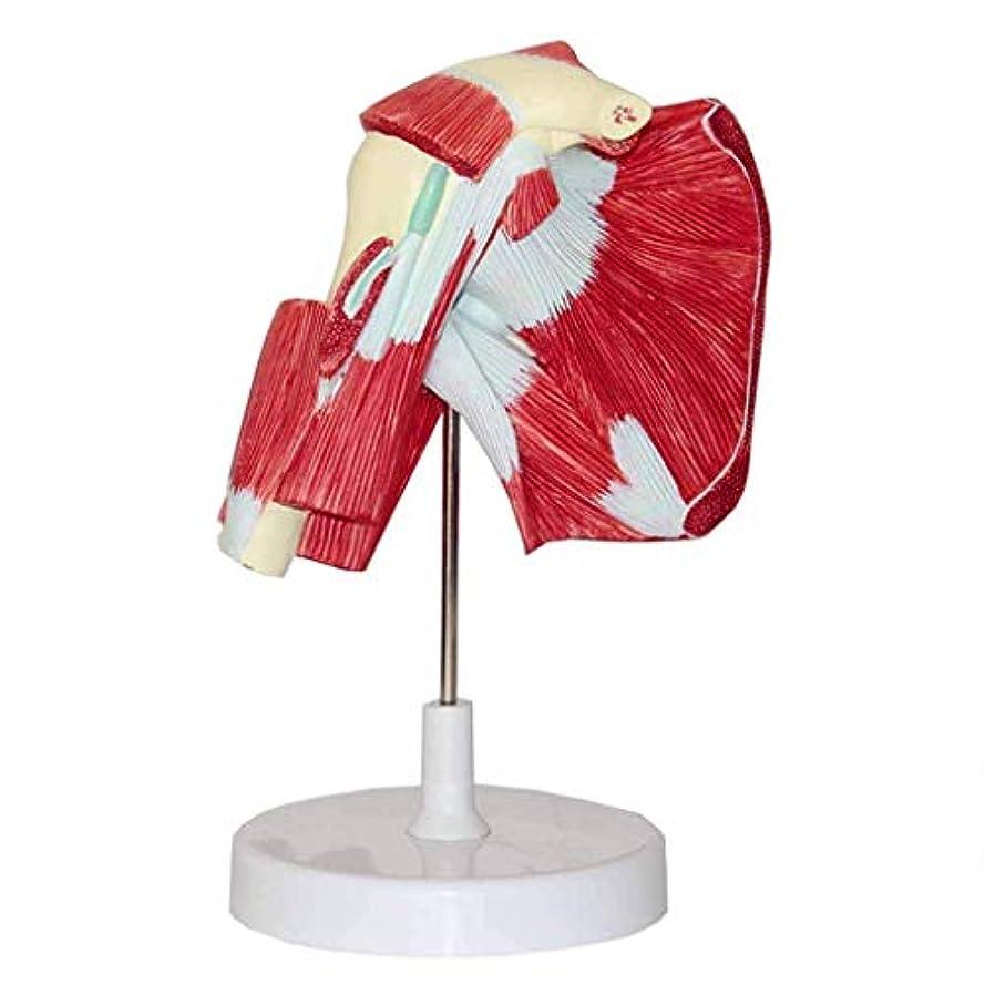 バッグ見かけ上手綱Model 教育モデル肩関節筋解剖モデル医療解剖肩