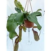 食虫植物 Nepenthes xMiranda (ネペンテス・ミランダ)