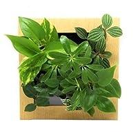 ミドリエデザイン 土を使わない 壁掛け 観葉植物 FRAME木目調ナチュラル17Z4