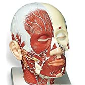 3B社 頭部模型 頭・頚部の筋肉モデル・神経付 (vb129)