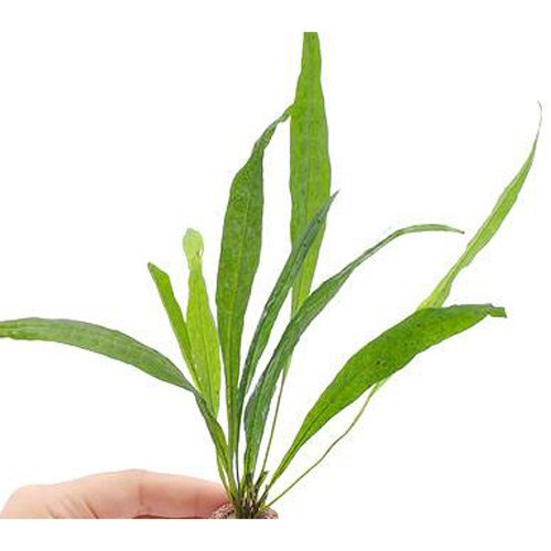 (水草)ライフマルチ(茶) ミクロソリウム プテロプス ソードリーフ(1個) 本州・四国限定[生体]