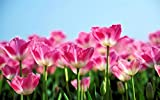 ピンクのチューリップの花が、春の青空を背景に咲く キャンバスの 写真 ポスター 印刷 植物・花 (75cmx50cm)