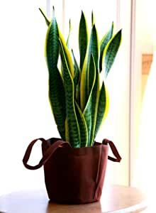 サンスベリア 5号鉢 エコバック 観葉植物 インテリア グリーン