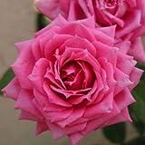 バラ苗 オーバーナイトセンセーション 国産大苗6号スリット鉢 ミニチュア系パティオローズ 四季咲き小輪 ピンク系