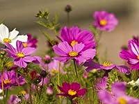 SEEDの種子:INGのSコスモス少ないメンテナンス(20個のパケット)庭の種子種子(パケットあたり20)