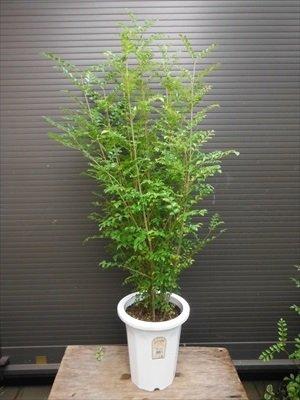 7号鉢植え シマトネリコ 全長90CM前後 8本以上の株立ち 観葉植物にも