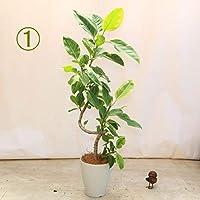 観葉植物:フィカス アルテシーマ(アルティシーマ)*白プラ鉢 現品(1番) 大型ヤマト便配送