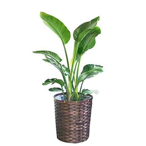 オーガスタ 観葉植物 鉢カバー付 インテリア 中型 大型 ストレチアオーガスタ