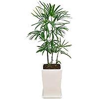 棕櫚竹(シュロチク) スクエア陶器鉢植え 8号サイズ