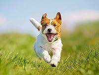 Jumping Jack Russell Terrier 写真 A-90746 12 x 18 Art Print LANT-90746-12x18