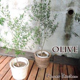 オリーブ 6号鉢 品種お任せ 丸バナナカゴ【茶】  受け皿付き  Mサイズ