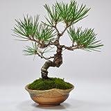 盆栽妙 黒松 信楽焼三方曲げ鉢仕立ての盆栽 幅15cm×樹高18cm