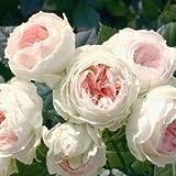 バラ苗 パシュミナ 国産新苗4号ポリ鉢 フロリバンダ(FL) 四季咲き中輪 ピンク系 アンティークタイプのバラ