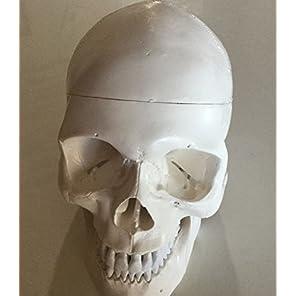 Cutelife style 実物大 頭蓋骨 精密 模型 顎関節 可動 教材用 インテリア スカル 医療 歯科 耳鼻科 眼科 頭部 髑髏 ドクロ ガイコツ 骨
