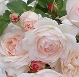 バラ苗 ステファニーグッテンベルク 国産大苗6号スリット鉢 フロリバンダ(FL) 四季咲き中輪 ピンク系 アンティークタイプのバラ