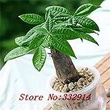 種子パッケージ セール!の100pcs /バッグレアパキラのmacrocarpa種子20個の様々な盆栽種子庭の新規プラントアンチ