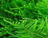 ジャイアント南米ウィローモス (1カップ)◆大きめの三角葉を展開★ 国産無農薬