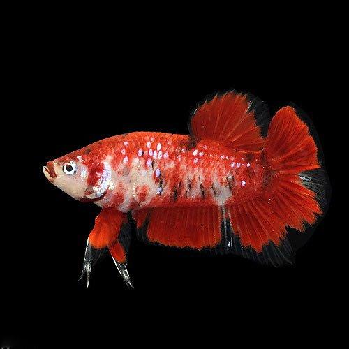 (熱帯魚)鯉ベタ・ハーフムーンプラガット コイカラー オス(赤系)(3匹) 本州・四国限定[生体]