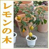 実付き レモンの木