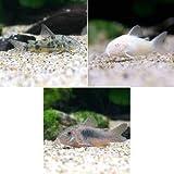 (熱帯魚)コリドラス・3種セット Aセット(3匹)(各種1匹) 北海道・九州航空便要保温