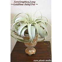 エアープランツチランジア・キセログラフィカ ゴールドローズポット インテリア観葉植物