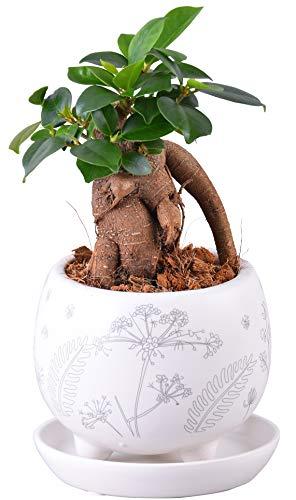 ガジュマル 多幸の木 鉢植え 陶器 ホワイト花柄 鉢皿 観葉植物 インテリア グリーン