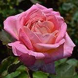 バラ苗 花山吹(はなやまぶき) 国産新苗4号ポリ鉢 ハイブリッドティー(HT) 四季咲き大輪 複色系