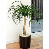 ポニーテール 7号鉢 フェイクレザーバスケット 観葉植物 インテリア グリーン
