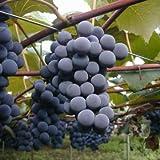 ぶどう 苗木 コンコード 12cmポット ブドウ苗 葡萄